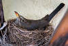 Brütende Amsel (Peter Goll thx for +7.000.000 views) Tags: 105mm amsel d850 mutter natur nest nikkor nikon vogel bird blackbird brüten mother nature erlangen germany