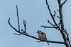 20180429 162744DSC_2217.jpg (photowehrli) Tags: oiseau chardonneret bird vogel