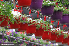 jardinières / Hanging basket (anatisbioprotection) Tags: ornemental ornementalproduction flower fleur serres greenhouses biologicalcontrol biologique luttebiologique anatisbioprotection