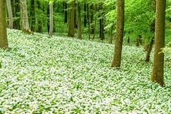 A wild garlic carpet in the forest (a7m2) Tags: wienerwald wildgarlic flora natur föhrenberge wandern mountain biking erholung laufen walking