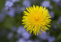 It's time to blossom dandelions (dagomir.oniwenko1) Tags: nature flowers canon color canon100mmf28lismacro canoneos7d yellow boston lincolnshire england taraxacum dandelion
