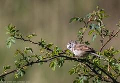 9Q6A1079 (2) (Alinbidford) Tags: alancurtis alinbidford brandonmarsh nature whitethroat wildbirds wildlife