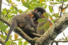 Capped Langur - Trachypithecus pileatus (Roger Wasley) Tags: cappedlangur trachypithecuspileatus manus nationalpark india monkey mammal primate asia indian animal cercopithecidae threatened coth5 specanimal specanimalphotooftheday fabuleuse