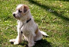 REX ... A CUTE SMALL YOUNG DOG (Guy Lafortune) Tags: pelouse gazon herbe grass park parc nature center centre petit chien rex little dog animal collier necklace medal médaille poil hair young jeune cute joli