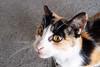 cat 57 (8pl) Tags: chat tête félin taïwan regard