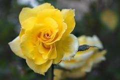 Yellow roses (Hanna Tor) Tags: flowers flora blossom petals rose roses yellow macro closeup hannator