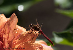 Dragon (jimgspokane) Tags: dragonflies insects flowers manitopark duncangarden today´sbest