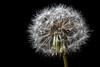 Dandelion seed head (hehaden (away for a week or so)) Tags: dandelion seedhead blackbackground macro sel90m28g