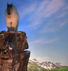 Wonders of Wildlfie National Museum and Aquarium (Adventurer Dustin Holmes) Tags: 2018 wondersofwildlife mountaingoats animal goats museum mountaingoat animalia chordata display exhibit kodiaknationalpark