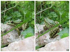 IMG_48204821 (RythiéInBlack) Tags: frog grenouille green vert amphibien batracien anoure mare étang marais marécage nature faune