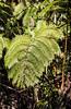 Tree Fern (wyojones) Tags: hāpuʻu hāpuʻupulu hāpuʻupuʻu pepeʻe cibotiumglaucum treefern hawaii bigisland volcano village town plant fern frond native