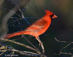 Northern Cardinal, Circle B Bar Reserve (alan jackman) Tags: jackmanjackman jazz bird birding nikon d7000 alanjackman tamron 150600mm circlebbarreserve circlebbar lakeland florida telephoto northern cardinal