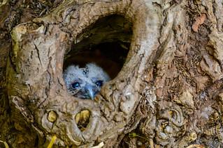 Tawny owl chick  19.05.18