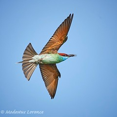 Bee eater (Modestus Lorence) Tags: outdoor nature birds bif wildlife isii f28 300mm markii 1dx singapore canon beeeater