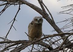 Great Horned Owl Owlet (fethers1) Tags: rockymountainarsenalnwr rmanwr rmanwrwildlife coloradowildlife bird raptor owl greathornedowl greathornedowlowlets