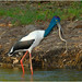 Female Jabiru snacking on file snake - South Alligator River, Kakadu National Park, Northern Territory, Australia - capture # 2