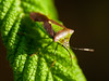 100x.22 - Shield bug (AmyGStubbs) Tags: 100xthe2018edition 100x2018 19apr18 2018 365the2018edition 3652018 day109365 e30 garden image22100 leaf olympus shieldbug sigma105mmf28exdgmacrofourthirds spring