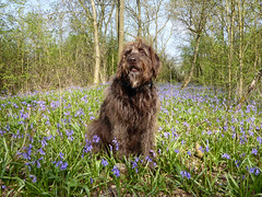 Whispa in Linford Woods 21Apr18 (kerrydavidtaylor) Tags: buckinghamshire labradoodle wildflowers
