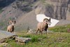 Bighorn Rams at Logan Pass (derliebewolf) Tags: säugetiere wildlife glaciernationalpark glac nationalpark bighornsheep bighornram nature summer sunrise hiking backcountry glacier snow dof bokeh mountains travel