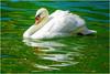 a swan in the pond ...   un cigno nello stagno ... (miriam ulivi - OFF /ON) Tags: miriamulivi nikond3200 cygnus cigno uccelloacquatico swan waterbird nature stagno pond acqua verde water green reflections