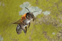 Rolf_Nagel-Fl-0240-Andrena_nitida (Insektenflug) Tags: andrenanitida greypatchedminingbee flaumsandbiene glinsendejordbi andrena nitida greypatched mining bee flaumsandbieneflaum sandbiene glinsende jordbi fliegend im flying flight wildlife biene miningbee apidae wilhelmshaven deutschland fauna flug germany hautflügler hymenoptera insekt insektenflug insect imflug inflight fliegen minoltaerokkor75mm erokkor minolta rokkor 75mm envole en vole