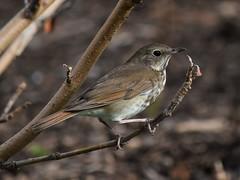 Hermit Thrush (marensr) Tags: hermit thrush bird nature animal wildlife tree chicago midway university