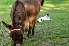 Dragon Fly Farm Donkeys 20180502 20180501  DSC_3093 Cat Happy Birthday (Shane's Flying Disc Show) Tags: donkeys catdragonflyfarm