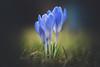 Trio (--StadtKind--) Tags: sonyfe90mmf28macrogoss sonyilce7rm3 sonyalpha teamsony stadtkind macrophotography macro naturephotography nature flores fleur flower depthoffield doflicious dof bokehlicious bokehaddicts bokehmasters bokeh