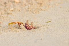 Life around the waters edge... (Santanu Sen) Tags: beach seashore crab hermitcrab morning sea andamansea andaman vijaynagarbeach havelockisland india animal island crustacean
