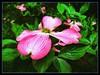 Pink. #Arboretum #washington #washingtondc #nationalplace #dcgarden #nationalgarden #usda #iphone #iphone365 #iphone7plus #iPhonemacro #macro  #flower #flowersofinstagram (Kindle Girl) Tags: iphone7plus arboretum washington washingtondc nationalplace dcgarden nationalgarden usda iphone iphone365 iphonemacro macro flower flowersofinstagram