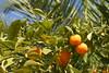 Oranges (Keith Mac Uidhir 김채윤 (Thanks for 5.5m views)) Tags: lyon france french ल्यों ليون лион لیون 里昂 francia frança frankrijk francie frankrig frankreich γαλλία franciaország francja fransa فرنسا франция franța frankryk فرانسه perancis 프랑스 pransiya pháp フランス ประเทศฝรั่งเศส 法国 park parc de la tête dor green vert verdr lunti grün 綠色 초록 xanhlácây سبز yeşil зелёныйцвет أخضر