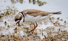 The Early Bird? (tresed47) Tags: 2018 201805may 20180509njwetlandsbirds birds canon7d content folder may newjersey peterscamera petersphotos places plover season semipalmatedplover shorebirds spring takenby us wetlandsinstitute
