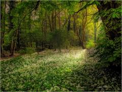 Wild garlic carpet (Jan 130) Tags: ramsons wildgarlic woodland forest forestfloor trees leaves flowers whiteflowers spring2018 jan130 westmidlandsengland uk scent toogoodtomiss gettingbetteragain happiness topazstudio coth5