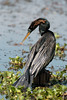 Anhinga (karenmelody) Tags: anhinga anhingaanhinga anhingidae animal animals bird birds brazosbendstatepark suliformes texas usa vertebrate vertebrates easttexas