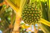 Hala aka Puhala (nerths) Tags: hala aha puhala tree fruit seed green hawaii spain fuerteventura costa calma may 2018 nikon d5100