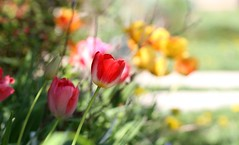 Colors! (Kerri Lee Smith) Tags: spring tulips flowers bulbs blurry sunshine sunny windy bokeh plants