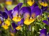 pansy (Mallybee) Tags: dcg9 g9 lumix panasonic macro flower pansy mallybee 35135mm tamron adaptall bright