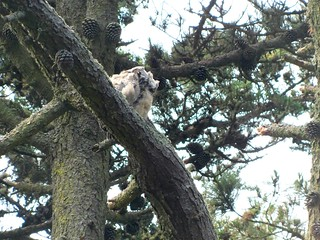 Great Horned Owls on Strawberry Hill