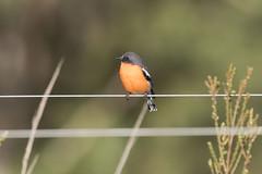 Flame Robin (Baractus) Tags: inala brunyisland tasmania australia john oates flame robin nature tours