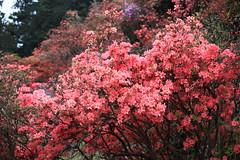 Azalea / Rhododendron / 躑躅(つつじ) (TANAKA Juuyoh (田中十洋)) Tags: 5d markii hi high res hires resolution 高精細 高画質 tochigi kanuma awano shiroyama kouen park 栃木 鹿沼 とちぎ かぬま 粟野城山公園 あわのしろやまこうえん azalea rhododendron 躑躅 つつじ ツツジ