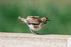 Horned Lark (Eremophila alpestris) (emiliechenphotography) Tags: spring 2018 carrizoplainnationalmonument bird hornedlark eremophilaalpestris