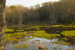 Swamp in Mason Neck (dzmears) Tags: scenic trees scenery tree landscape lovely peaceful forest water green day pretty leaves park swamp woods