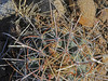 CAE012271a (jerryoldenettel) Tags: 180420 2018 blessingsfishhookcactus cactaceae commonlittlebarrelcactus coreeudicots fishhookcactus jacksonlake nm sanjuanco sclerocactus sclerocactusparviflorus smallflowerfishookcactus smallflowerfishhookcactus whipplesfishhookcactus wildflower cactus caryophillales flower whipplefishhookcactus