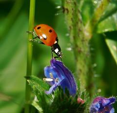 Ladybug (cami.carvalho) Tags: ladybug joaninha flower flor field campo primavera spring