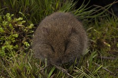 Mastacomys fuscus, Broad-toothed Rat (Museums Victoria's Catching the Eye) Tags: mammals rats rodents terrestrial vertebrates geo:country=australia geo:state=victoria geo:locality=alpinenationalpark taxonomy:kingdom=animalia taxonomy:phylum=chordata taxonomy:order=rodentia taxonomy:family=muridae taxonomy:genus=mastacomys taxonomy:species=fuscus taxonomy:binomial=mastacomysfuscus taxonomy:common=broadtoothedrat