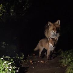 Gandalf and the Baby (Sue Elderberry) Tags: fox redfox urban urbanwildlife vulpus vulpusvulpes night animal nature cub foxcub foxkit foxpuppy puppy cityfox