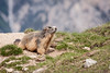 IMG_9249.jpg (Hans Van Loy) Tags: alpenmarmot bergen dieren europa frankrijk gewervelden knaagdieren landenenplaatsen nationaleparken parcnaturelregionalduqueyras zoogdieren