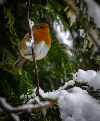 the last snow.... (littlestschnauzer) Tags: robin small garden bird winter 2018 visitor wildlife yorkshire uk britain snowy weather animal birds nature red breast little perched conifer branch tree wintry scene cold freezing british