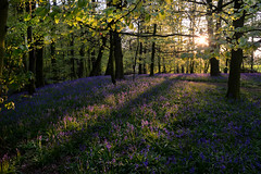 Evening bluebells (PentlandPirate of the North) Tags: bluebells spinney scholargreen cheshire ~flickrinnes flickrinnes