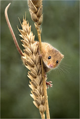 Harvest Mouse says, 'Hi'. (DHHphotos) Tags: wild nature wheat harvest mouse wildlife nikon d7500